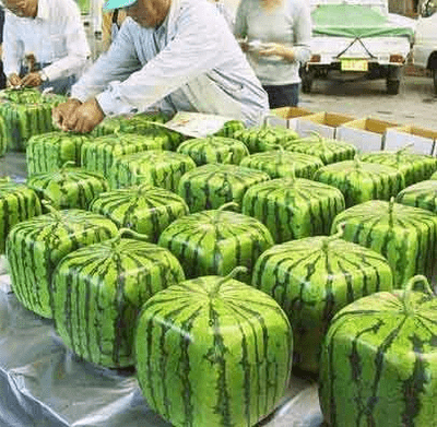 square watermellons 1